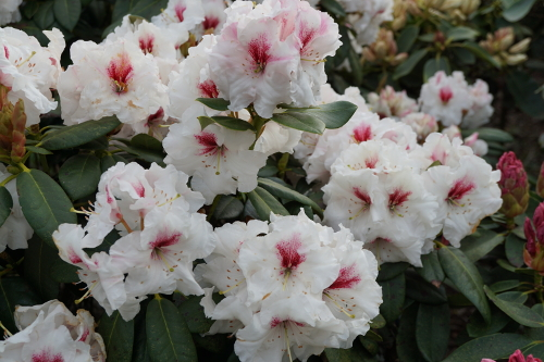 Rhododendron Anessa