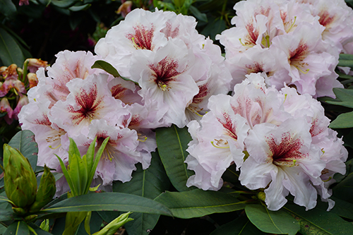 Rhododendron Hesse's Daydreamer