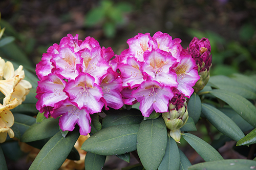 Rhododendron New Wave