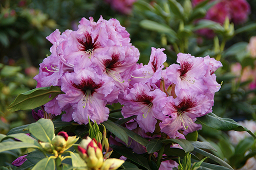 Rhododendron Proud Mary