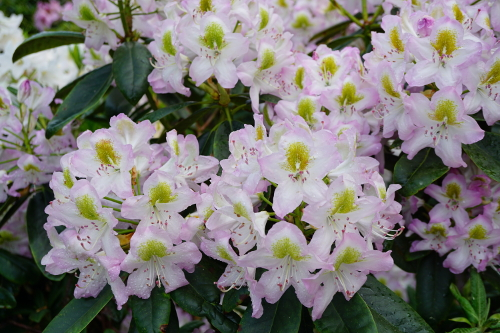 Rhododendron Salt and Pepper